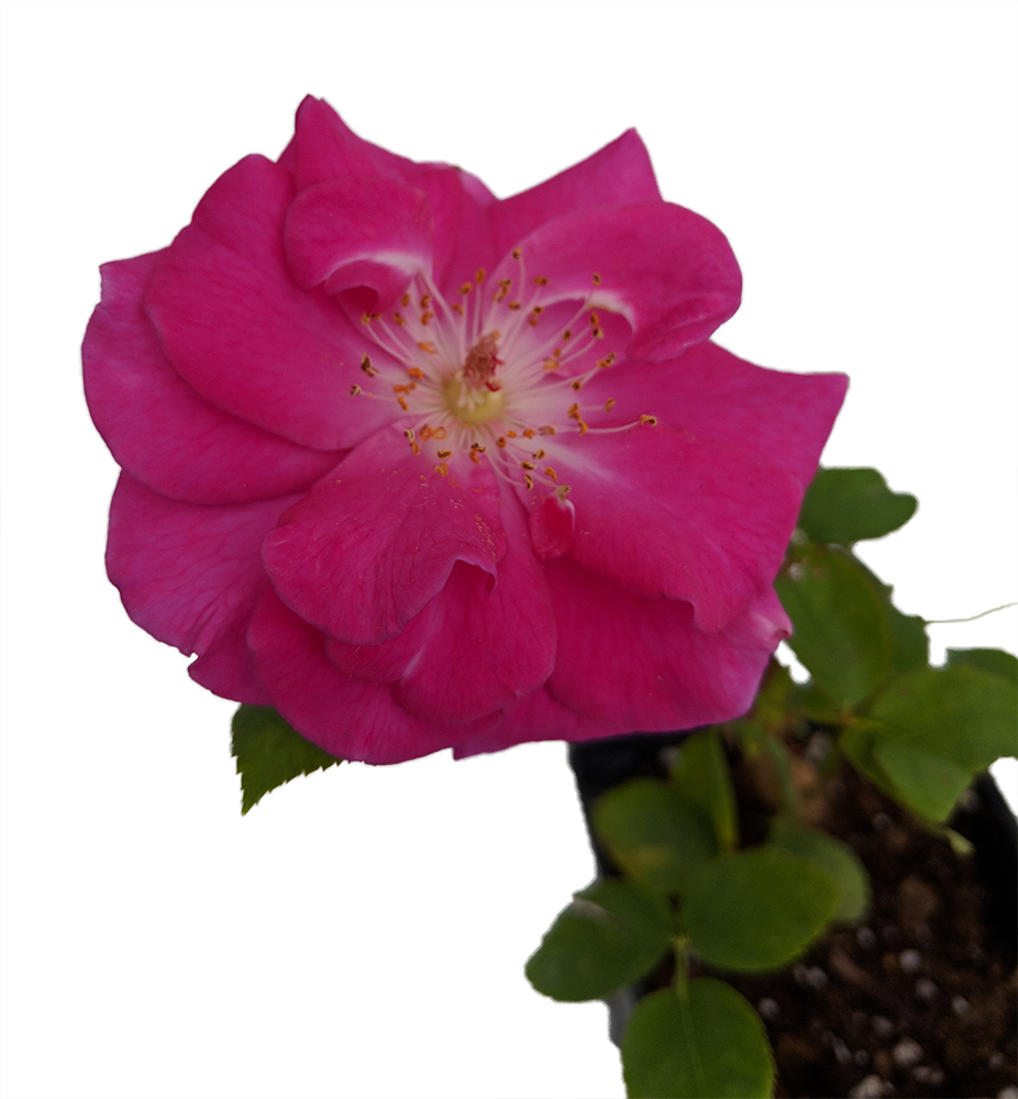 Brindabella Purple Prince Shrub Rose - One of the World\'s Most ...