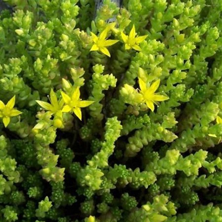Sedum Seeds - Acre Golden Carpet - 1000 Seeds - Bright Yellow Flowers - Perennial Decorative Groundcover House Plant - Flower Garden - Sedum spurium,.., By Mountain Valley Seed Company