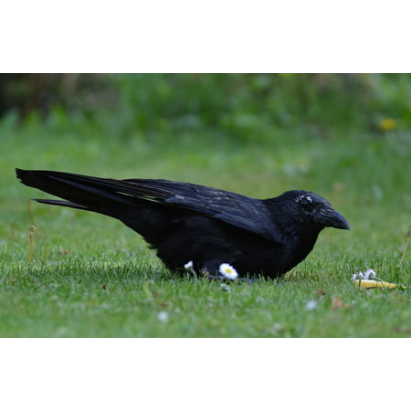 LAMINATED POSTER Crow Cheese Bill Bread Raven Black Raven Bird Poster Print 24 x 36 - Black Crowes Halloween Poster