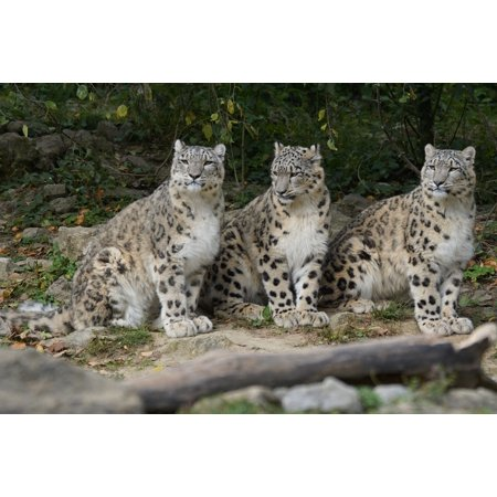 LAMINATED POSTER Snow Leopards Wildlife Photography Family Boy Poster Print 24 x