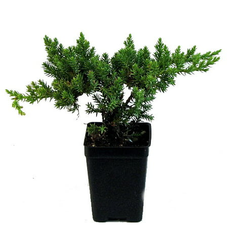 Japanese Juniper Bonsai Starter Tree - 3