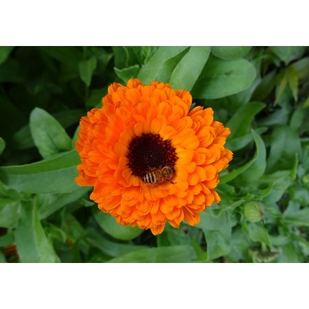 Calendula Pot (Canvas Print English Marigold Calendula Flower Pot Marigold Stretched Canvas 10 x 14 )