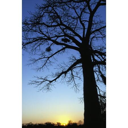 Tree With Birds Nests Silhouetted In Etosha National Park Canvas Art - Sasha Gusov  Design Pics (24 x (Sasha Grey Best Pics)