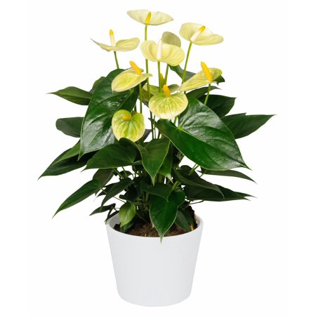 Vanilla Anthurium Plant   Easy To Grow House Plant   4  Pot   Great Gift