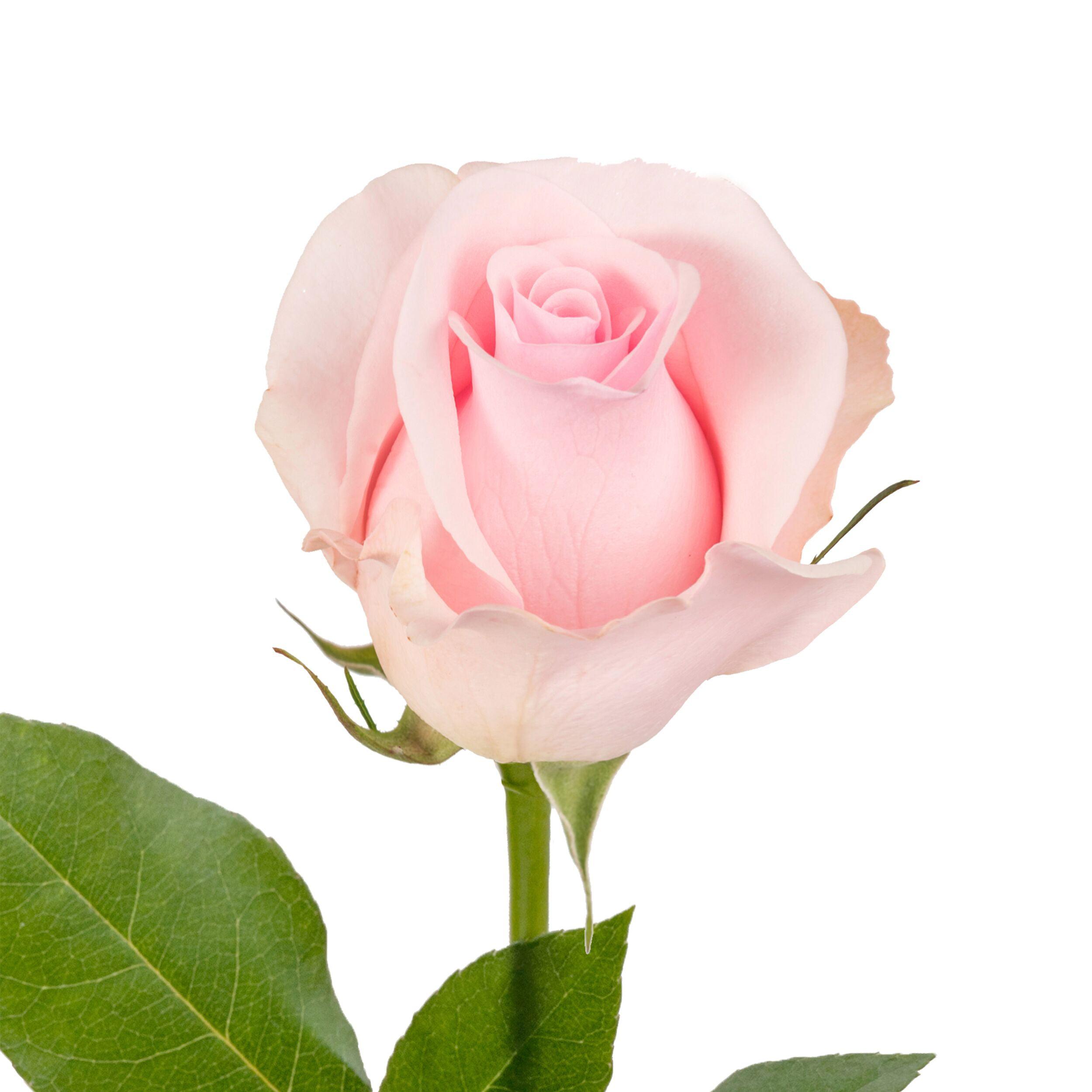 "Natural Fresh Flowers - Light Pink Roses, 20"", 50 Stems"