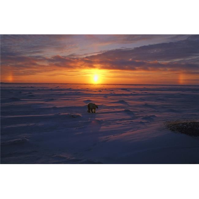 Posterazzi DPI1791176 Polar Bear in Arctic Sunset Poster Print by John Pitcher, 17 x 11