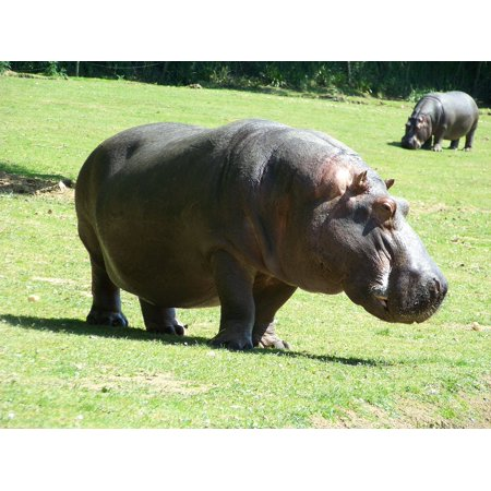 LAMINATED POSTER Zoo Hippopotamus Hippopotamus Amphibius Poster Print 24 x 36 ()