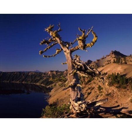 Whitebark Pine tree at lakeside Merriam Point Crater Lake National Park Oregon USA Poster Print by Panoramic Images (36 x