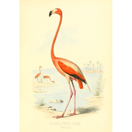 Birds Of The Bahamas 1880 Flamingo Canvas Art   Unknown  24 X 36