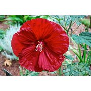 Cherry Brandy Giant Hibiscus Rose Mallow Perennial - Huge Flowers - Gallon Pot
