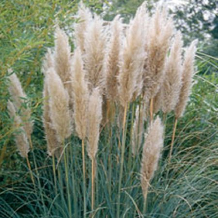 Pampas Grass, Ornamental Grass, Live Plants