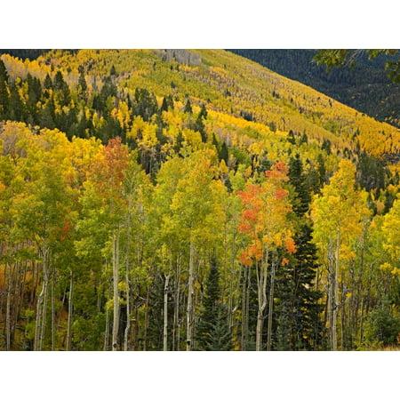 Aspen trees in autumn Santa Fe National Forest near Santa Fe New Mexico Poster Print by Tim Fitzharris