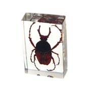 Ed Speldy East PW107 Real Bug Paperweight Regular-small-Antler Horned Beetle