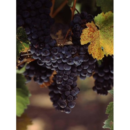 Cabernet Sauvignon Grapes in Vineyard, Wine Country, California, USA Print Wall Art By Green Light Collection
