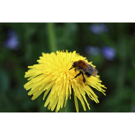 LAMINATED POSTER Bloom Insect Nectar Flower Blossom Close Bee Poster Print 24 x 36