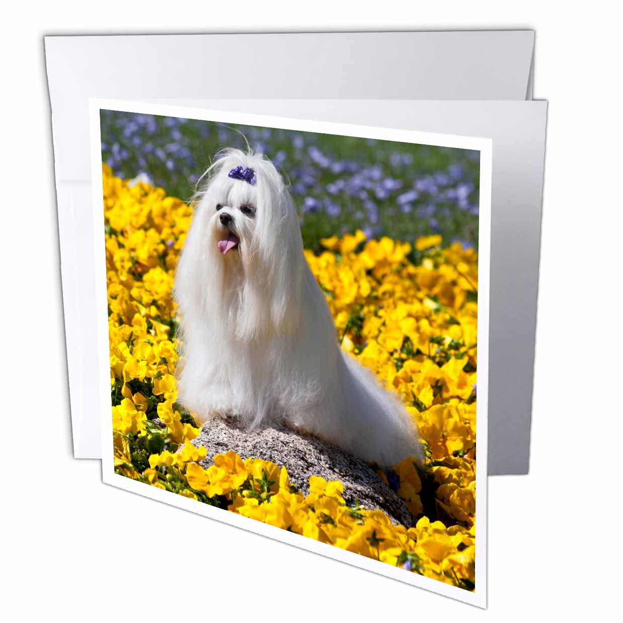 3dRose USA, California. Maltese in yellow flowers., Greeting Cards, 6 x 6 inches, set of 6