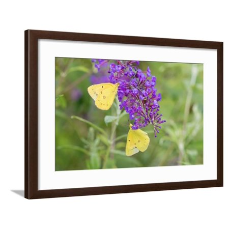 Orange Sulphurs on Butterfly Bush, Illinois Framed Print Wall Art By John & Lisa Merrill