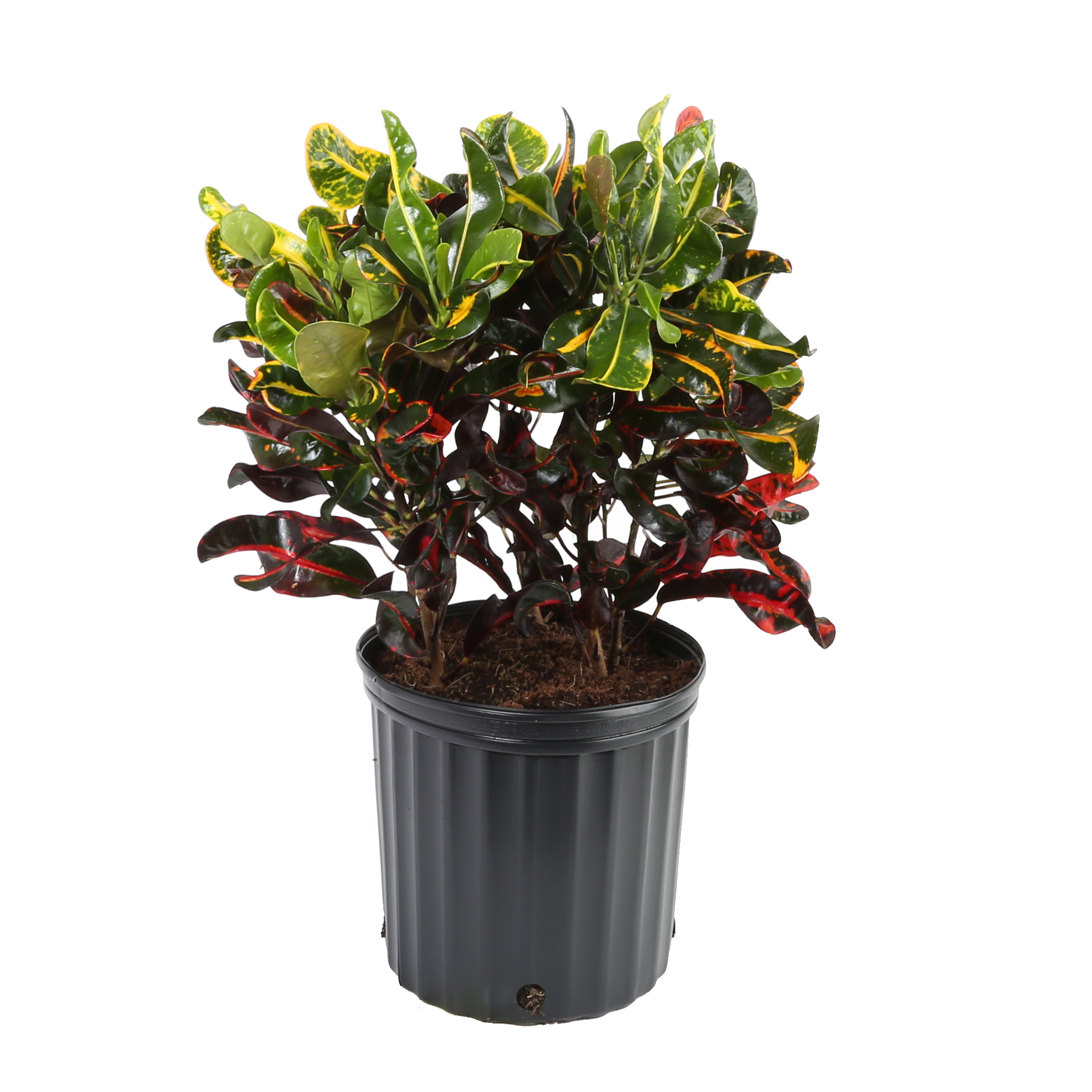 Croton (Codiaeum) Red Mammy Easy Care Live House Plant from Delray Plants, 10-inch Grower Pot
