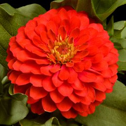 Image of Better Homes Qt Bhg Zinnia