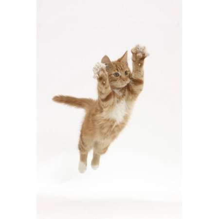 Ginger Kitten Leaping with Legs and Claws Outstretched Print Wall Art By Mark Taylor