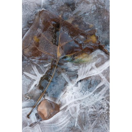 Utah. Abstract Design of Frozen Ice Patterns and Aspen Leaf in Stream, Hunter Canyon, Near Moab Print Wall Art By Judith Zimmerman