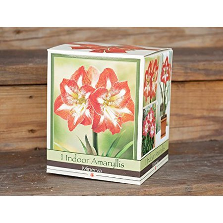 Minerva Amaryllis Bulb in an Elegant Box, With a Plastic Planting Pot, and a Professional Growing Medium