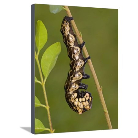 Owl Moth Caterpillar Crawling on a Twig (Brahmaea Certhia) Stretched Canvas Print Wall Art By Leroy Simon - Caterpillar Craft