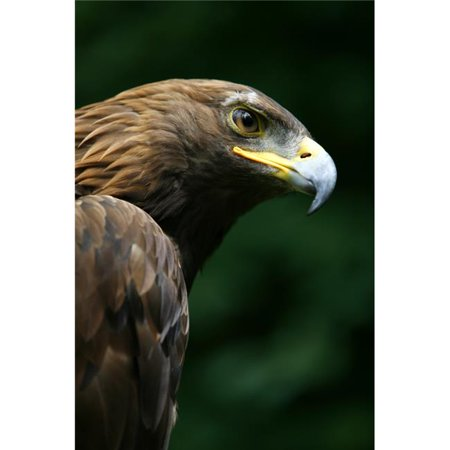 Posterazzi DPI1829539 Golden Eagles Face Aquila Chrysaetos Poster Print by Deddeda, 11 x 17 - image 1 de 1