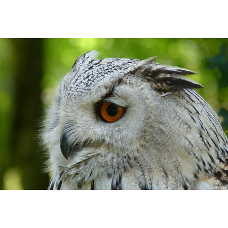 Night Owl Bird (Canvas Print Forest Eagle Owl Bird Night Active Owl Stretched Canvas 10 x 14 )