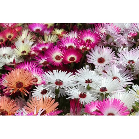 Canvas Print Garden Livingstone Daisy Livingstone Daisy Flower Stretched Canvas 10 x
