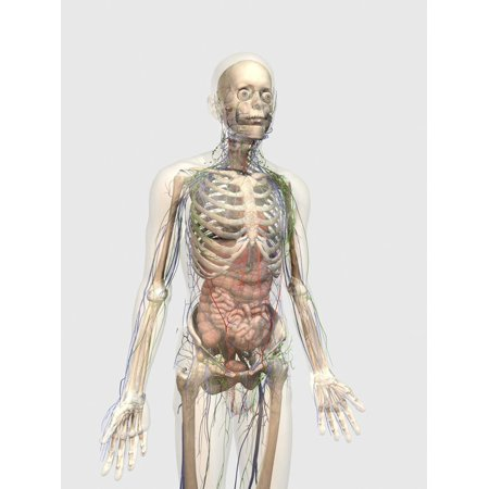 Human Body with Internal Organs, Lymphatic System and Circulatory System Print Wall Art By Stocktrek