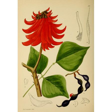 The Flowering Plants of Africa 1921 Erythrina Caffra Canvas Art - KA Lansdell (24 x -