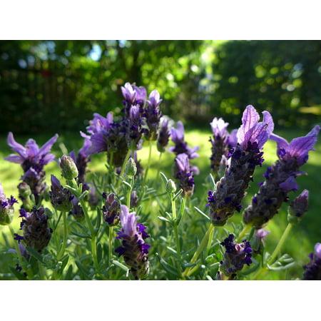 LAMINATED POSTER Violet Garden Plant Lavender Flowers Fragrant Poster Print 24 x 36