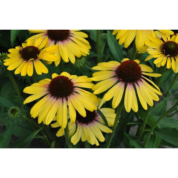 Marcella At Town Center: Butterfly™ Yellow Rainbow Marcella Coneflower