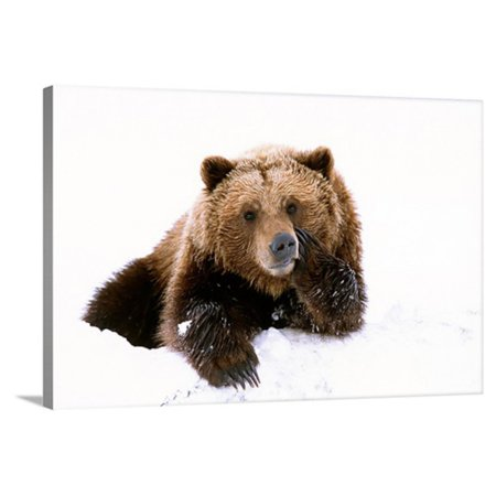 Great BIG Canvas Grizzly Resting Head on Paw Canvas Wall - Custom Big Heads