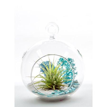 Air Plant Terrarium Kit   Aqua Crunch   Natural Accents Series   Complete Tillandsia Gift Set   4   Glass Globe   Nautical Crush Trading Tm