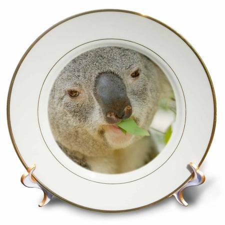 3dRose Queensland Koala bear, eucalyptus, San Diego Zoo, CA - US05 MPR0030 - Maresa Pryor, Porcelain Plate, - Zoo Plates
