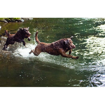- Laminated Poster Pets Water Dogs Chesapeake Bay Retriever Poster Print 11 x 17