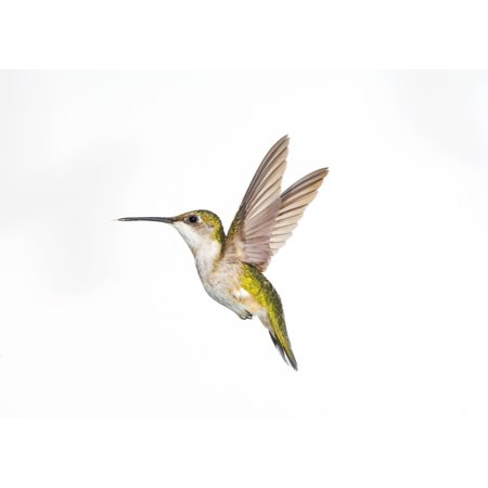 Ruby-Throated Hummingbird (Archilochus Colubris) Female Fairly Common In Gardens Nova Scotia Canada Stretched Canvas - Thomas Kitchin & Victoria Hurst  Design Pics (32 x 22) (Victoria Gardens Com)