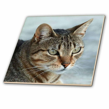 3dRose Up Close and Personal animal moggie tabbies tabby cat cat cats