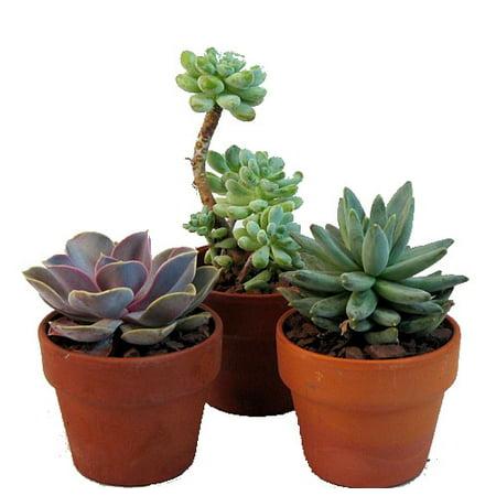 Echeveria Plant - Desert Rose Succulent Collection - Echeveria - 3 Plants in 3