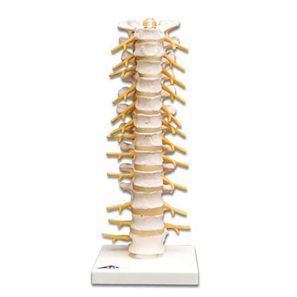 Anatomical Flexible Thoracic Vertebral Column