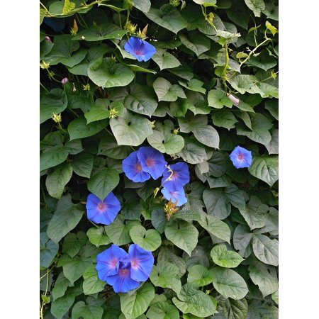 LAMINATED POSTER The Vine Morning Glory Summer Flowers Blue Flowers Poster Print 24 x 36