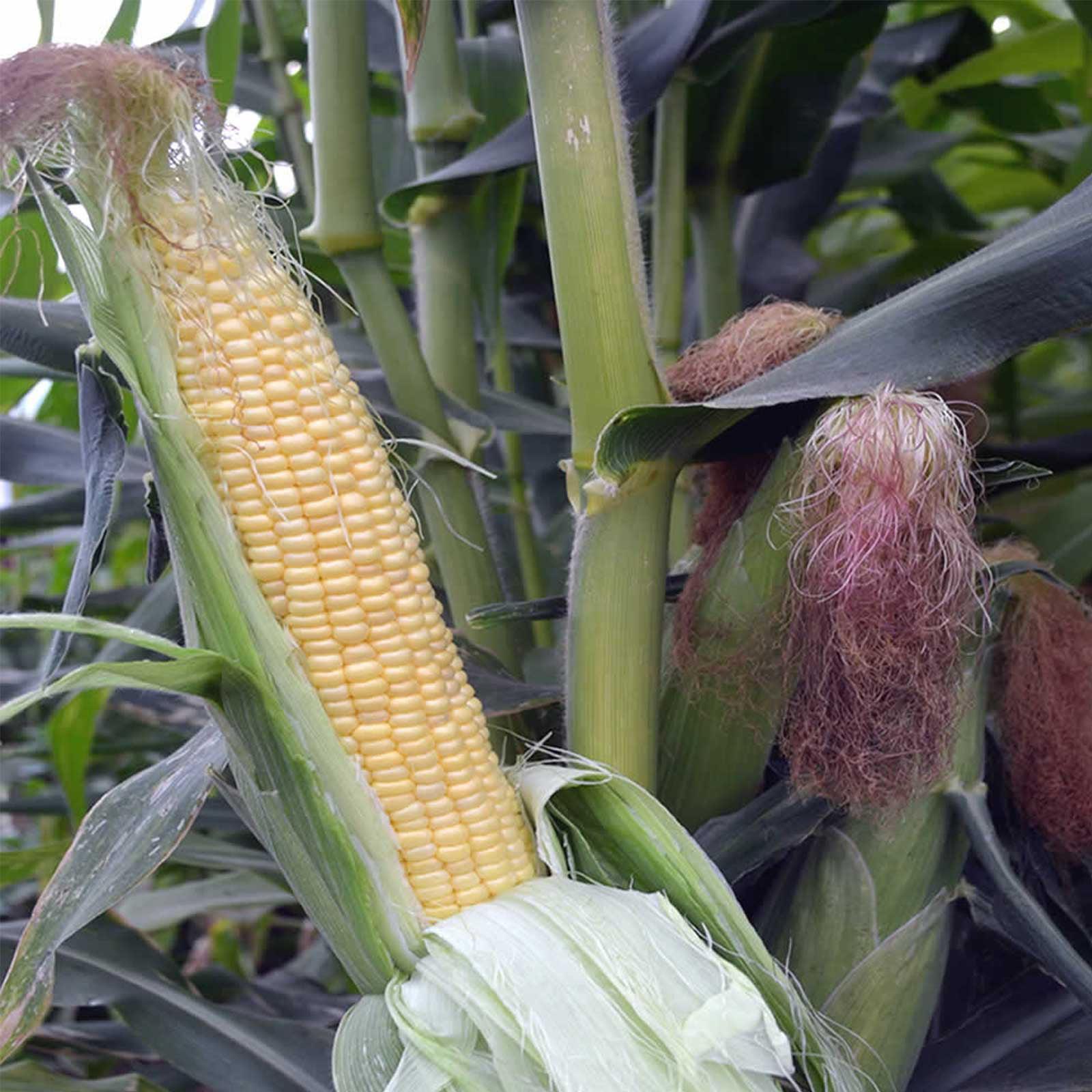 Image of Honey Select Hybrid Triplesweet Corn Garden Seeds - 1 Lb - Non-GMO Vegetable Gardening Seeds - Triple Sweet Corn