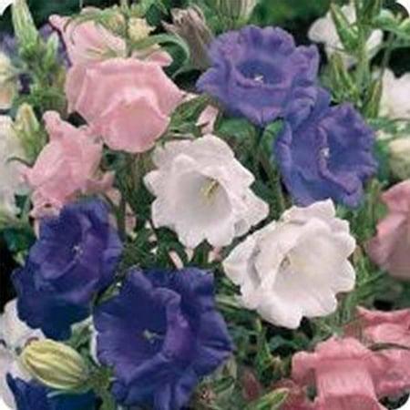 Campanula Flower Seeds Cup And Saucer Mix 1000 Seeds Perennial
