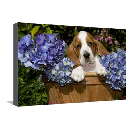 Basset Hound Pup in Flowers, Burlington, Wisconsin, USA Stretched Canvas Print Wall Art By Lynn M. Stone ()