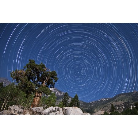 A Pine Tree On A Windswept Slope Reaches Skyward Towards North Facing Star Trails Canvas Art   Dan Barrstocktrek Images  35 X 23