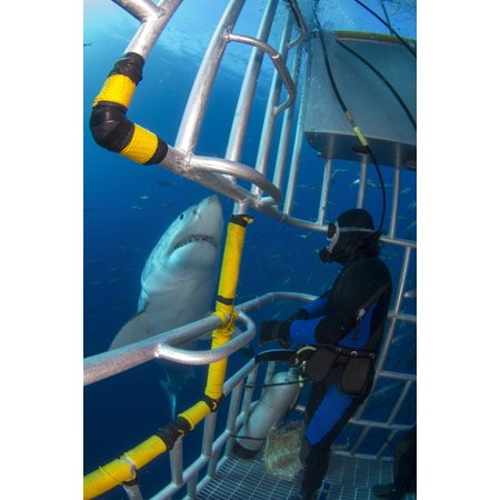 Diver observes a male great white shark from inside a shark cage Guadalupe Island Mexico Poster Print