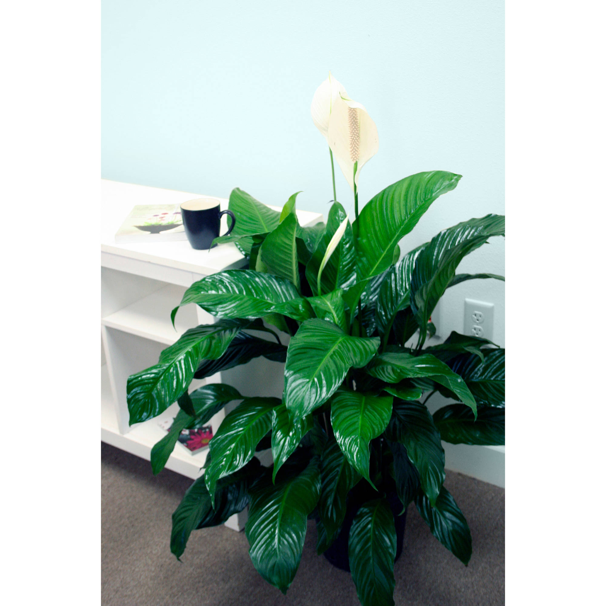Delray plants spathiphyllum peace lily sweet pablo easy to grow delray plants spathiphyllum peace lily sweet pablo easy to grow live house plant 10 inch grower pot walmart izmirmasajfo