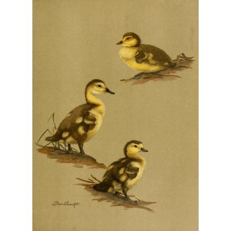 Nat History of Ducks 1925 Downy Duck Stretched Canvas - A Brooks (18 x 24)